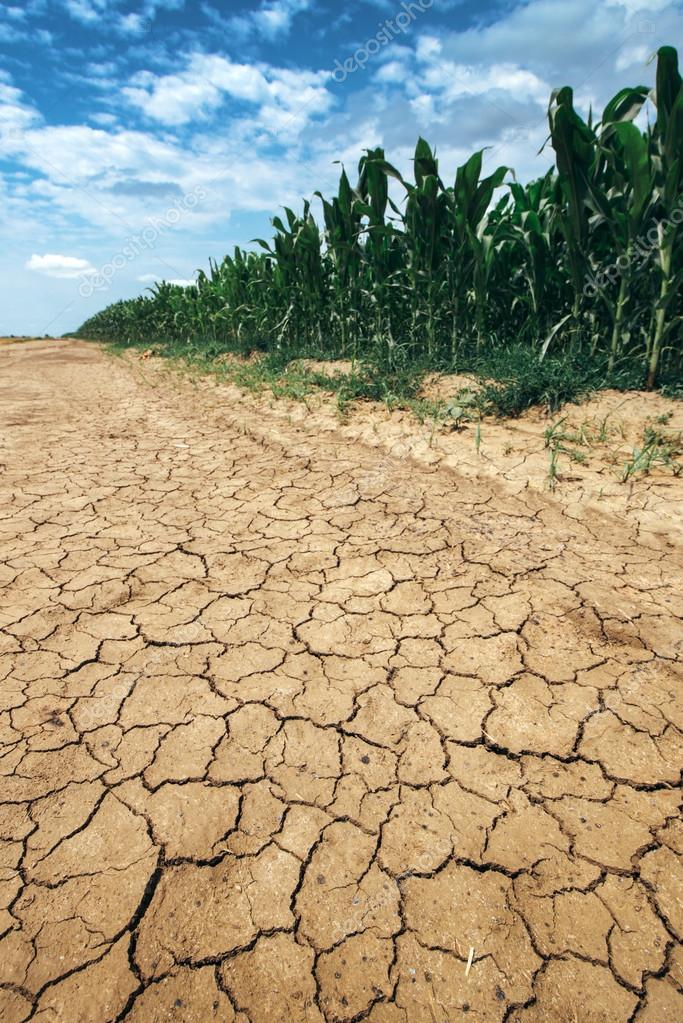 depositphotos_115736548-stock-photo-corn-crop-growing-in-drought